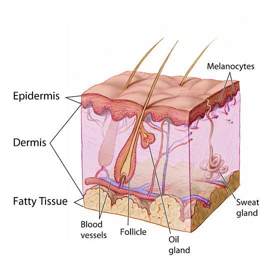 Analýza pleti: epidermis