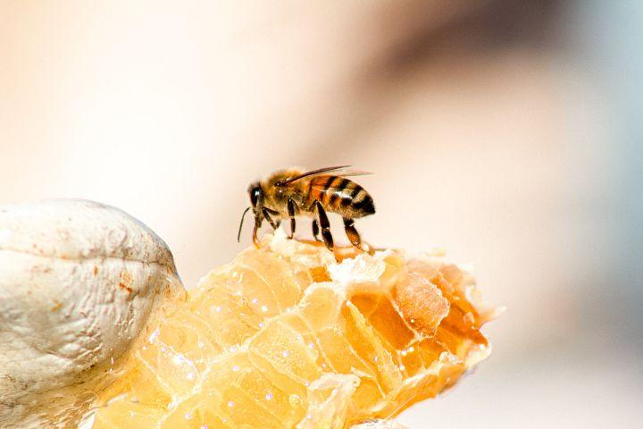 Včela zbiera kvetinový nektár na med