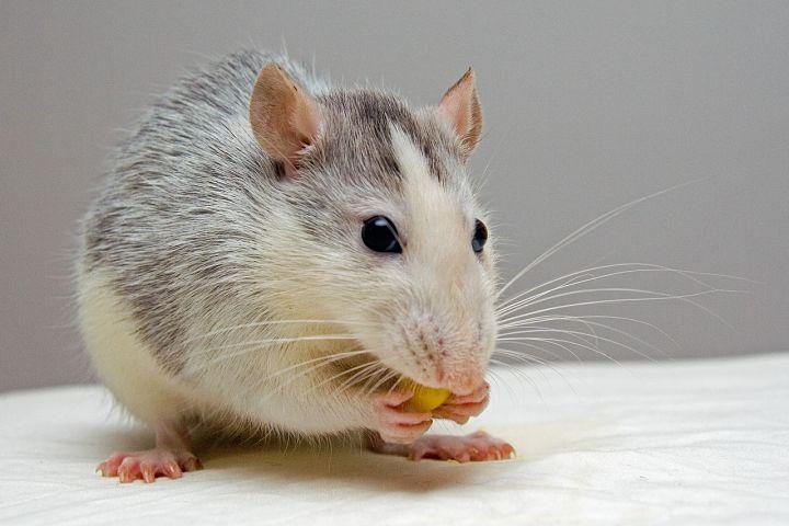 Oxid titaničitý, experimenty na myších